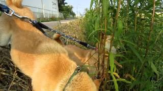 美味しそうにセイタカアワダチソウを食べる山陰柴犬リンともみじ。
