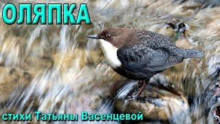 «Оляпка» - описание и особенности в природе.