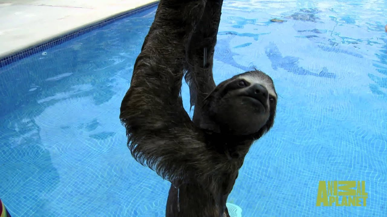 Sloth Pees in a Swimming Pool on Animal Planets 'Meet The ...