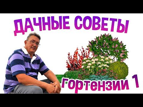 Гортензия садовая. Уход и разведение в средней полосе России.