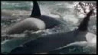 Orcas matan y Devoran una Ballena IMPACTANTE¡¡¡¡¡¡¡¡