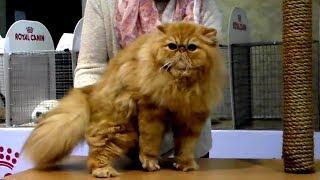 Ну ОЧЕНЬ Шикарный Персидский Кот - Вы только Посмотрите на это Пушистое ЧУДО | Породы Кошек