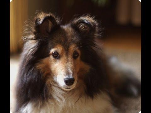 TEST.TV: Все для животных. Шелти не путать с  Колли.
