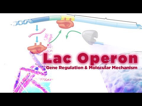 Lac Operon - Simply defined in 30 seconds