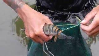 Repeat youtube video นักล่ากุ้งแม่น้ำ River shrimp hunter