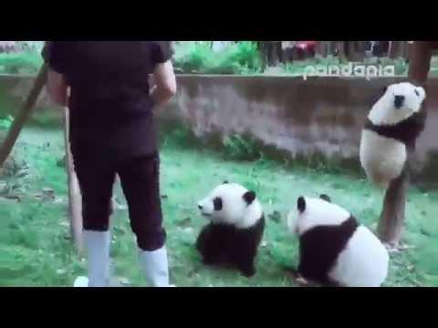 Панды мешают уборщице. Panda helps clean up.