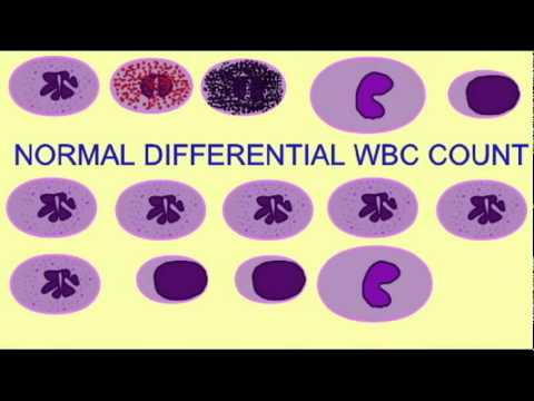 ap2: differential white blood cell count - youtube, Skeleton