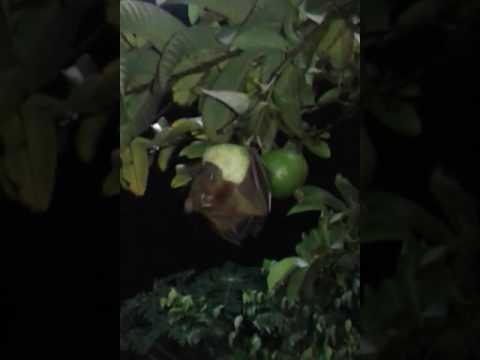 Codot kalong makan buah jambu
