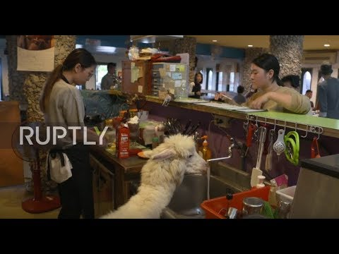 Going out? Alpaca-lunch! Chinese alpaca cafe proves hit with tourists