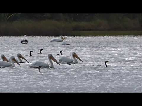 RARE- BIRDFEST I - Return Of  American White Pelicans