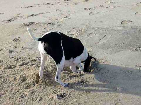 Roxy the English Pointer digging in the sand in North Carolina.MOV