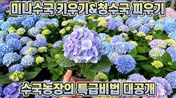 미니수국 키우기&청수국 피우기!! 수국농장의 특급비법 대공개!!