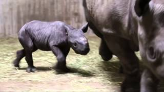 Critically Endangered Black Rhino Born at Lincoln Park Zoo