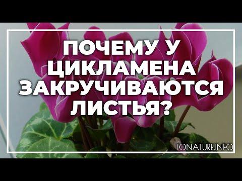 Почему у цикламена закручиваются листья? | toNature.Info