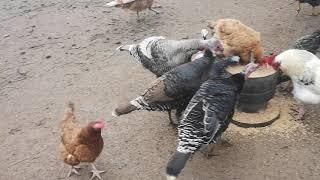 Poranne wypuszczenie drobiu / warzywa dla kur / zbieranie jajek / wypuszczenie gołębi ozdobnych
