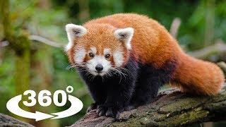 PANDA CZERWONA (FIREFOX) - ZOO CHORZÓW 360° (VR)