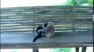 Гиббон против кота