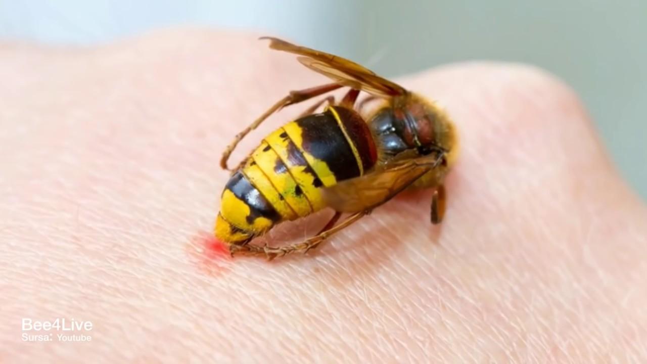 paraziți de viespe)