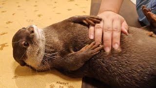 腹筋トレーニングするカワウソのビンゴ|Otter gym - Bingo sit-ups training