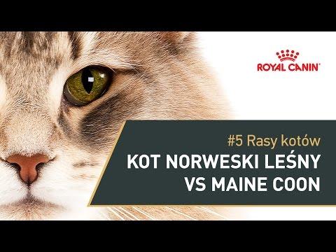 #5 Rasy kotów - Kot norweski leśny vs Maine coon || ROYAL CANIN