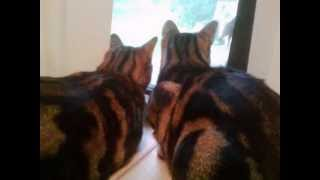 Two Cool Bengal Cats Hanging Out Together Looking Out a Window