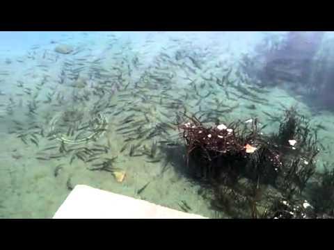 Рыбы, маринки