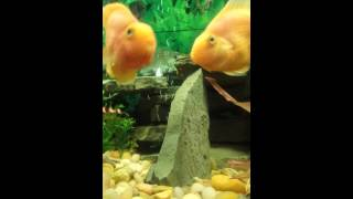 Parrot cichlid laying eggs