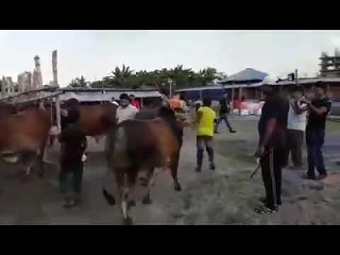 Samarai Cattle Farm 2016