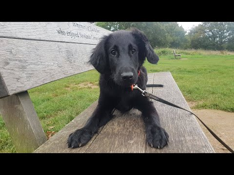 Perdy - 4 Month Old Flat Coated Retriever Puppy - 3 Weeks Training