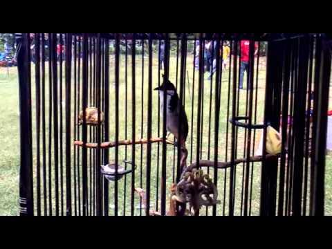 นกป่าละอูแท้ๆ อายุประมาณ 29ปี