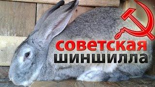 Кролики великаны: Гигантская и Советская Шиншилла.(, 2015-11-05T12:46:10.000Z)
