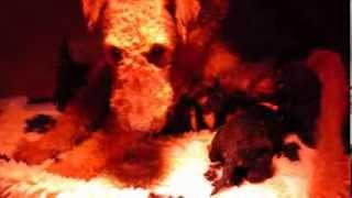 Airedale Terrier Welpen Von Erikson  18 Tage Alt  Mvi 0165