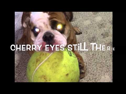 Cherry Eye Treatment Home Remedy For Dogs