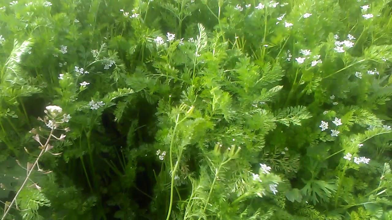 Kişniş tohumunun 7 önemli faydası nedir
