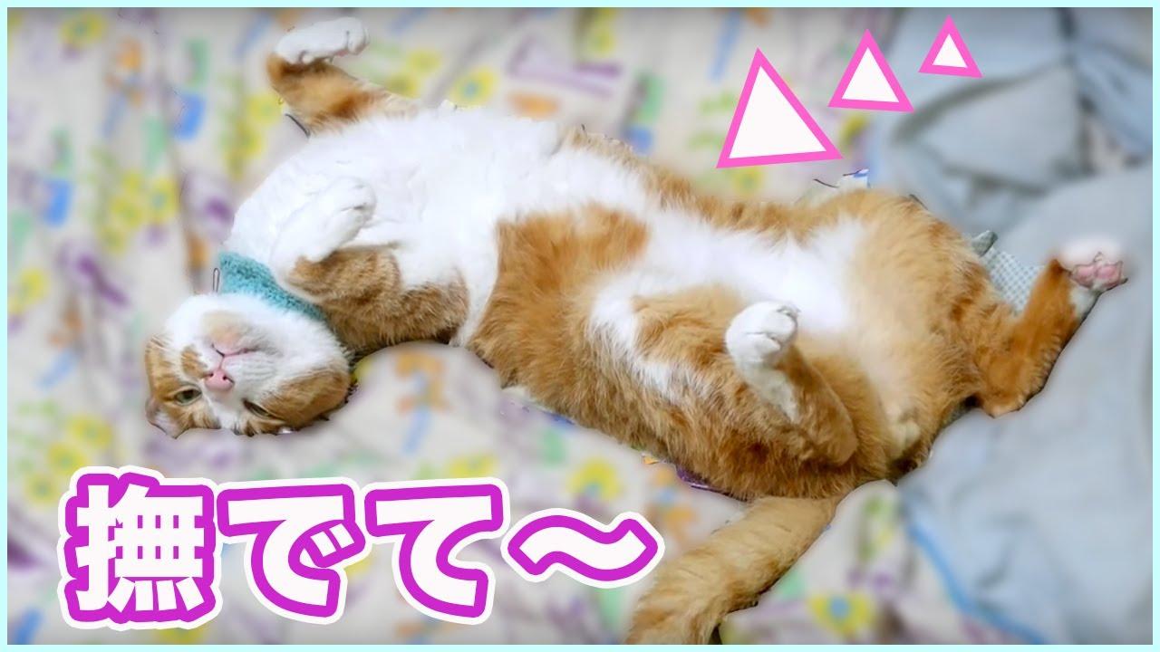 「撫でて♪〜」ヘソ天ポーズの甘えん坊猫!?かわいいけど笑える♡茶トラ猫「マック」【猫ちゃんねる】ねこ動画・2匹の猫通信/Cats Life TV