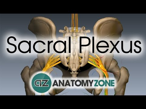 Sacral Plexus | Anatomy Tutorial