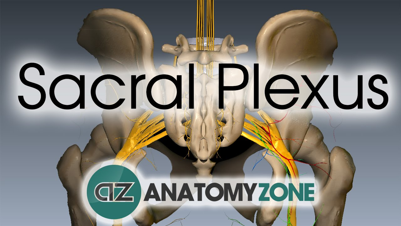 Sacral Plexus | Anatomy Tutorial - YouTube