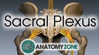Sacral Plexus | Anatomy Tutorial