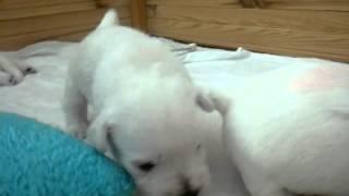 Westie Puppy 3 Weeks Old