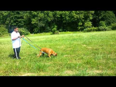 malinois-tracking-schutzhund-ipo-dog-training
