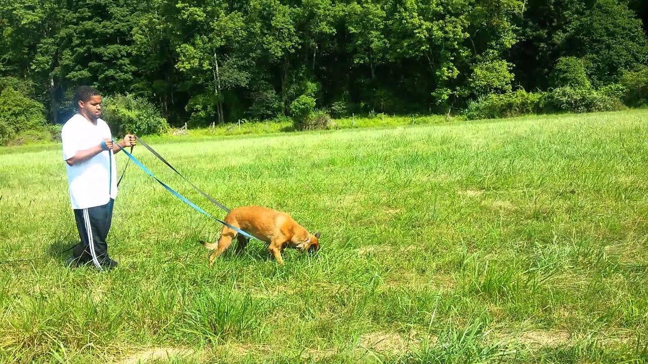 Schutzhund Dog Training Videos