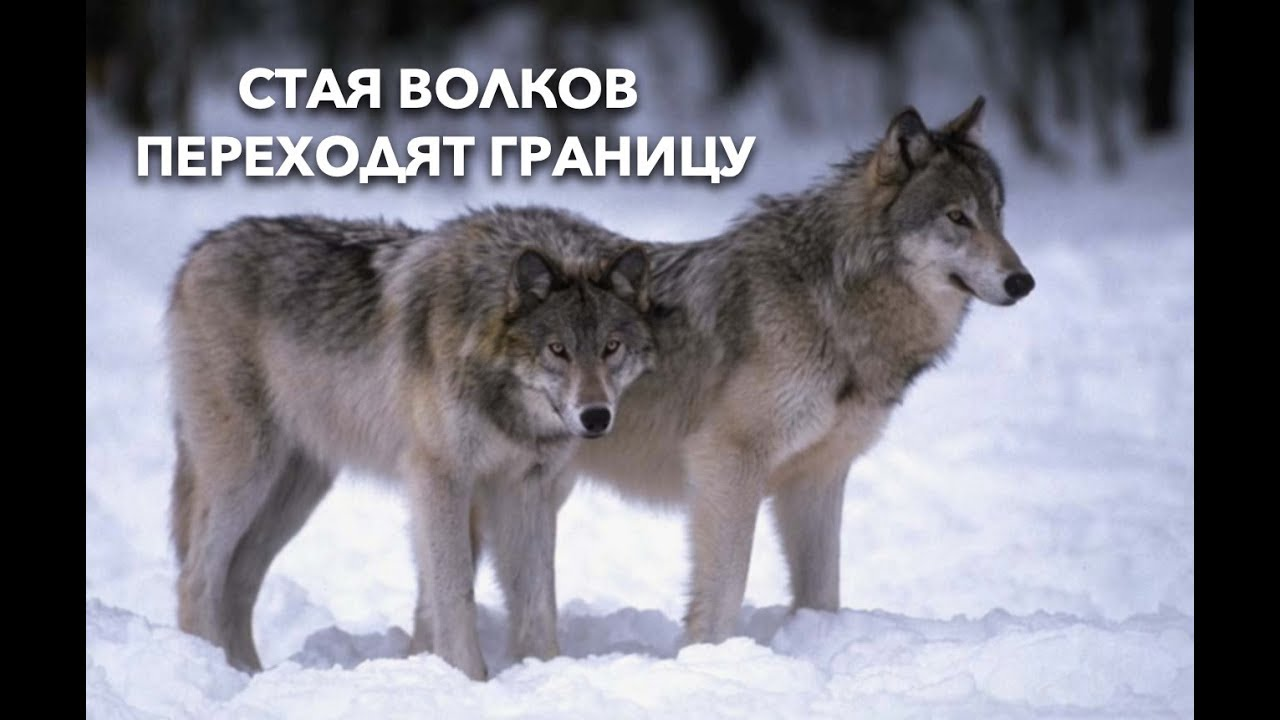 Переход стаи волков через границу Беларуси и Литвы.