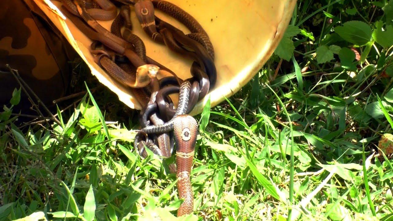 देखिए इतने सारे जहरीले साप एक साथ। छोटे पर खतरनाक। Venomous Baby Monocled cobra release.
