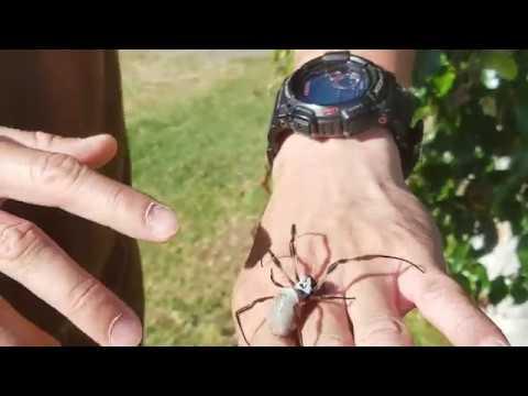 Australian Golden Orb Weaver Spider