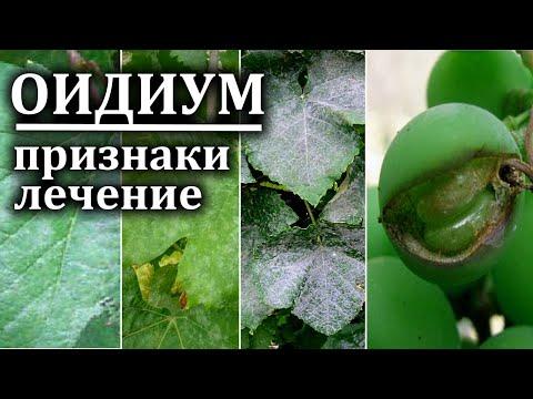 Оидиум на винограде   Срочные меры Лечение оидиума