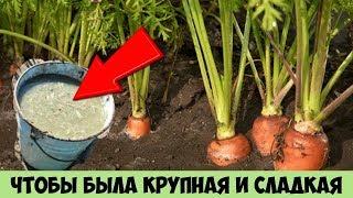 Сделайте так с МОРКОВЬЮ и сможете собрать очень КРУПНЫЙ и СЛАДКИЙ урожай раньше срока