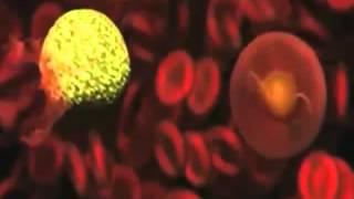 Тип Споровики. Малярийный плазмодий