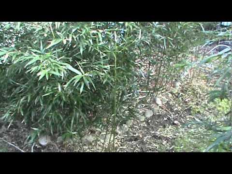 Hardy Bamboo Plant In Sodus Michigan