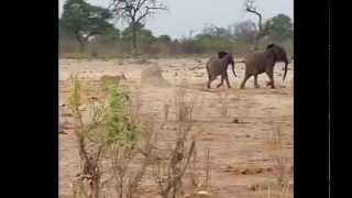 lions attack elephant