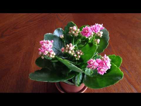 Комнатные цветы каланхоэ уход в домашних условиях